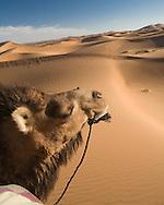 Camel in the Sahara Desert, Morocco