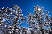 Sunstar and rime ice covered pines in the San Bernardino Mountains, San Bernardino National Forest, California USA