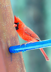A Friendly red cardinal perches on a blue bar on my swing-set in search af some afternoon seed.