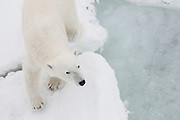 A male polar bear (Ursus maritimus) walking on pack ice in the Arctic Ocean, Svalbard, Norway