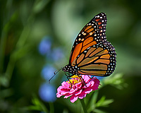 Monarch Butterfly on a Pink Zinnia Flower. Image taken with a Fuji X-T3 camera and 100-400 mm OIS telephoto zoom lens (ISO 200, 400 mm, f/5.6, 1/500 sec). Raw image processed with Capture One Pro.