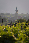 Vineyards in the wine growing region south-west of Bolzano, South Tyrol, northern Italy.