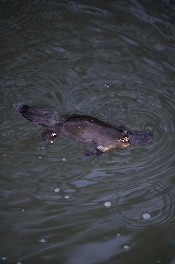 Platypus, (Ornithorhynchus anatinus) Australia.  Captive Animal.