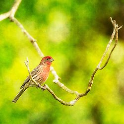 A Male House Finch Perched On A Bare Tree Branch Against Textured Green