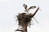 00783-01808 Osprey (Pandion haliaetus) in flight to nest with food Cruickshank Sanctuary - Brevard County, FL