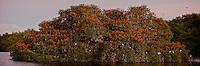 Scarlet ibises on their roosting trees on a small mangrove island in the Caroni Swamp..Caroni Bird Sanctuary, Trinidad.
