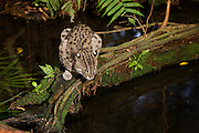 A fishing cat (Felis viverrina OR Prionailurus viverrinus) searchng a pool for fish at dusk. Captive, Singapore. Range: India, Malaysia, Thailand, and Pakistan.
