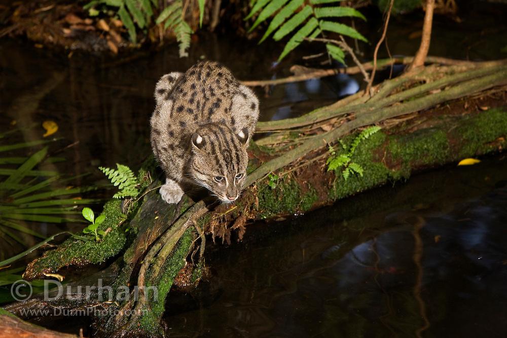A fishing cat (Felis viverrina OR Prionailurus viverrinus) searchng a pool for fish at dusk. Captive, Singapore. Range: India, Malaysia, Thailand, and Pakistan.