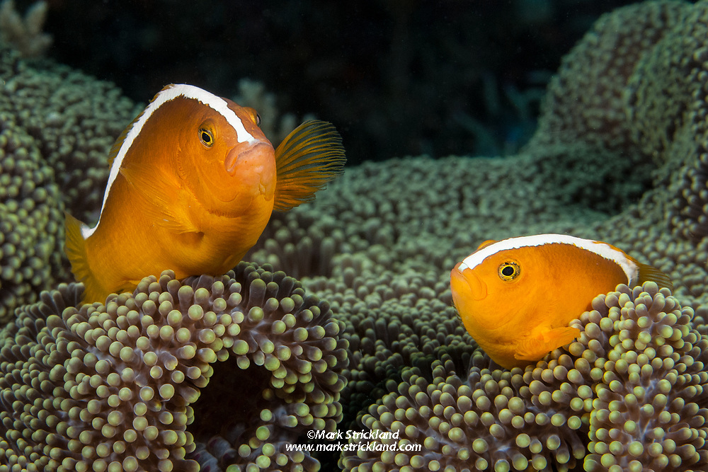A pair of Orange Anemonefish, Amphiprion sandaracinos, snuggle among tentacles of their host anemone. Visayan Sea, Philippines, Pacific Ocean