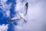 Western gull flying (Larus occidentalis) on the Oregon Coast.