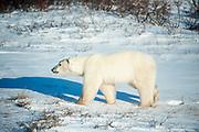 Adult polar bear walking in snow near Hudson Bay  Ursus maritimus, Hudson Bay, Canada