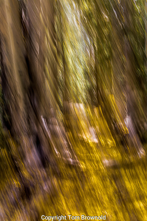 Quaking Aspen forest in the Kachina wilderness of the San Francisco Peaks, Flagstaff, Arizona