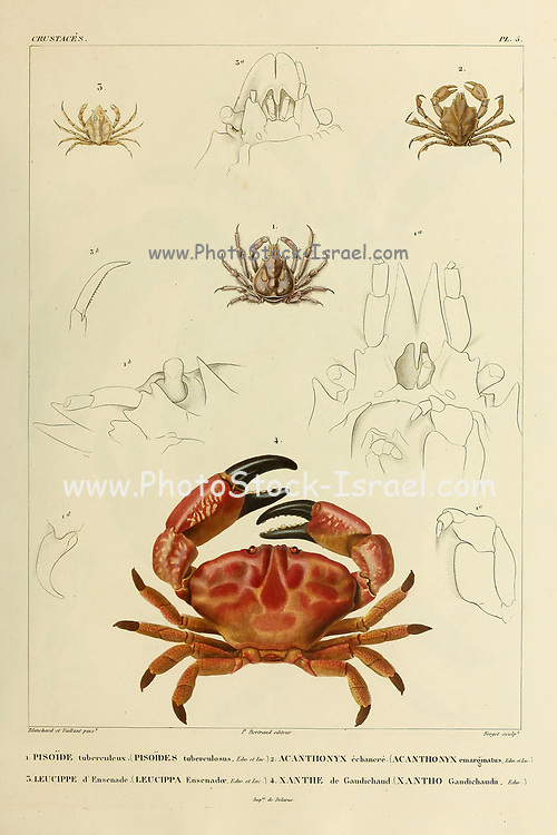 Pisoide, Acanthonyx, Leucippe and Xanthe or Xantho Crustaceans (Crustacea) form a large, diverse arthropod taxon which includes such animals as crabs, lobsters, crayfish, shrimps, prawns, krill, woodlice, and barnacles hand coloured sketch From the book 'Voyage dans l'Amérique Méridionale' [Journey to South America: (Brazil, the eastern republic of Uruguay, the Argentine Republic, Patagonia, the republic of Chile, the republic of Bolivia, the republic of Peru), executed during the years 1826 - 1833] Volume 6 Part 1 (Crustacean). By: Orbigny, Alcide Dessalines d', d'Orbigny, 1802-1857; Montagne, Jean François Camille, 1784-1866; Martius, Karl Friedrich Philipp von, 1794-1868 Published Paris :Chez Pitois-Levrault. Publishes in Paris in 1843