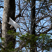 This is a male Pteromys volans orii flying squirrel gliding through the canopy in mid-afternoon. This species is primarily nocturnal. During the peak of the reproductive season, they can become active during the day when there is competition among males for a female in estrus, as was the case here.
