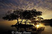 red mangrove tree at sunrise, Rhizophora mangle, Key Biscayne, Florida ( Western Atlantic Ocean )