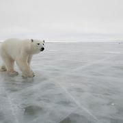 Polar Bear (Ursus maritimus) on the ice in Churchill, Manitoba, Canada.