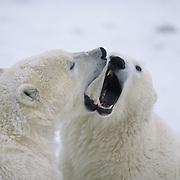 Polar Bear cubs playing together. Churchill, Manitoba, Canada