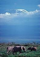 Elephants grazing in front of Mount Kilimanjaro,     Amboseli National Park,   Kenya