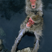 Snow Monkey or Japanese Red-faced Macaque (Macaca fuscata) grooming. Japan