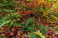 Ferns and Sugar Maple Leaves in autumn color in the Upper Peninsula of Michigan, USA