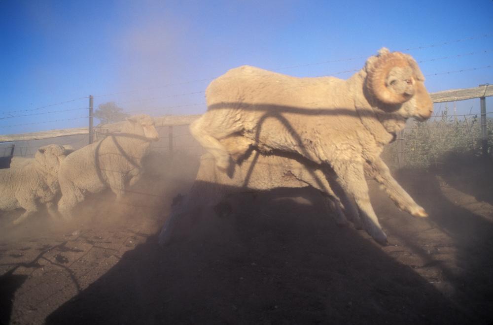 Australia, New South Wales, Merino Sheep race through dusty paddock at Narra Allen Station sheep ranch near Boorowa