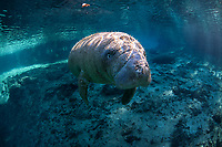"""Young male manatee calf displays curious nature. He is looking intently. What does he see? Even though manatee eyesight is regarded as poor, in their watery world the underwater colors and shapes they see are different from the way we see but effective for them. Manatees also learn to """"feel"""" to see with their vibrasse manatee hairs. Three Sisters Springs on a clear blue water peaceful day.  Florida manatee, Trichechus manatus latirostris, a subspecies of the West Indian manatee, endangered IUCN. USFWS downlisted to Threatened in 2017. Kings Bay, Crystal River National Wildlife Refuge, Kings Bay, Crystal River, Citrus County, Florida USA."""