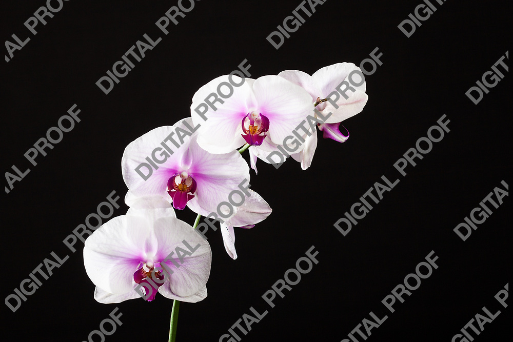 Orchids flowers with black background on studio.