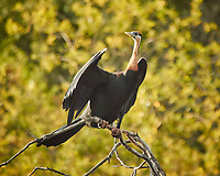 African Darter. Zambezi River Wildlife Tour. Image taken with a Nikon 1 V3 camera and  70-300 mm VR lens