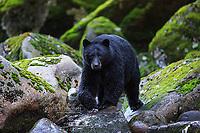 Black bear in the Great Bear Rainforest, BC, Canada