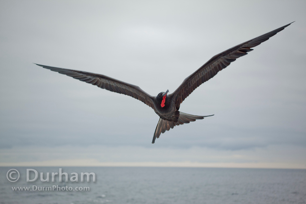 A male magnificant frigate bird (Fregata magnificens) over the pacific ocean in the water of the Galapagos Archipelago, Ecuador.