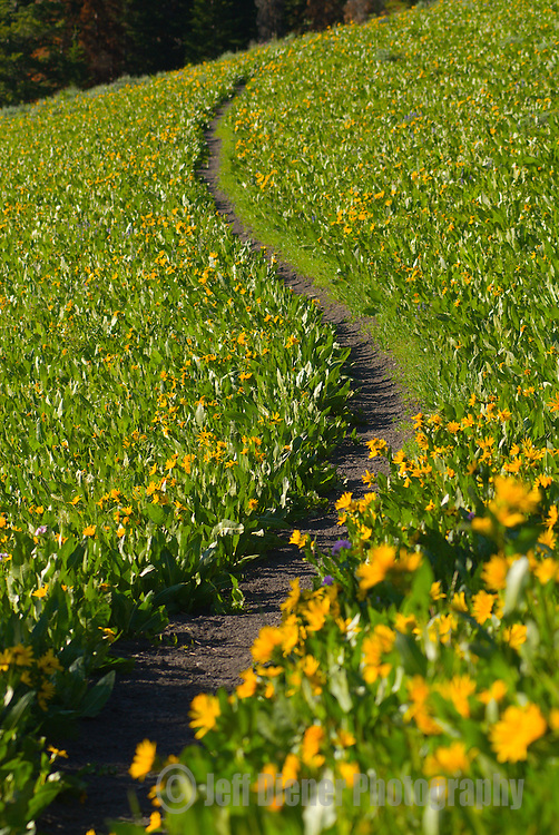 Single track trail winds through a field of wildflowers near Pickle Pass.  Wyoming Mountain Range, Wyoming.