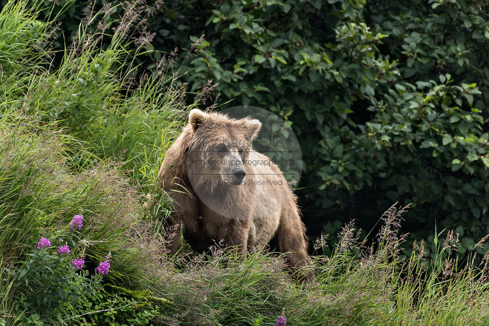 A brown bear sow known as Simba keeps a watchful eye out for her spring cubs at the McNeil River State Game Sanctuary on the Kenai Peninsula, Alaska. The remote site is accessed only with a special permit and is the world's largest seasonal population of brown bears in their natural environment.