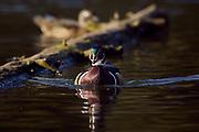 Wood Duck drake (Aix sponsa)