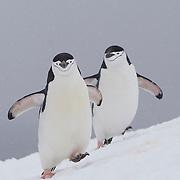 Pair of Chinstrap penguin. Half Moon Island. Antarctica.