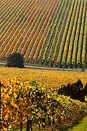 Red Hill, Mornington Peninsula Vinyard in Autumn.<br /> <br /> For larger JPEGs and TIFF Contact EFFECTIVE WORKING IMAGE via our contact page at : www.photography4business.com
