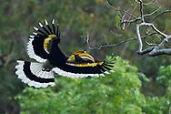 Great Pied Hornbill, Buceros bicornis, bird photographed in flight in Hong Bung He, Dehong, Yunnan, China