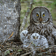 Great Gray Owl (Strix nebulosa) adult and chicks in the nest in an old growth forest during the spring in Montana.