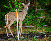 Deer outside the electric fence.  Image taken with a Fuji X-T2 came4520 sec)