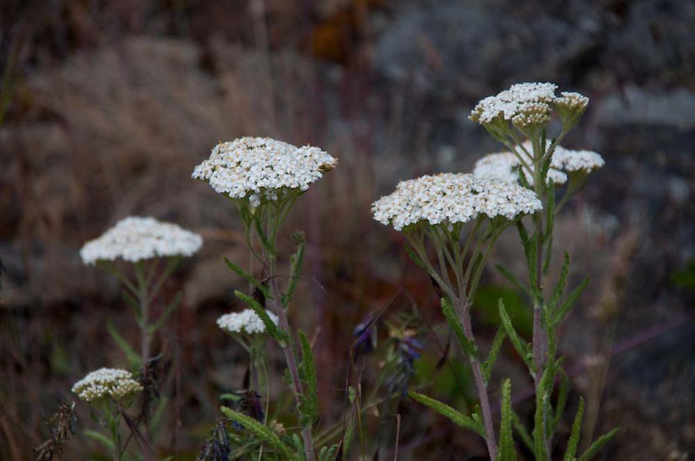 Yarrow (Achillea millefolium), Yellow Island, San Juan Islands, Washington, US