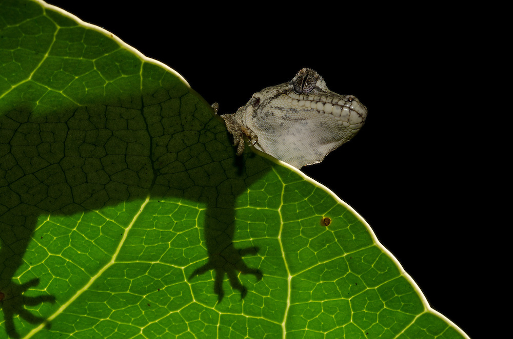 Forest gecko, Hoplodactylus granulatus,