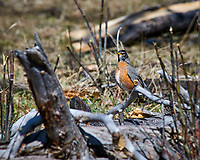 Early springtime Robin on a downed tree at Lily lake in Rocky Mountain National Park. Image taken with a Nikon D300 camera and 80-400 mm VR lens (ISO 200, 400 mm, f/8, 1/500 sec).