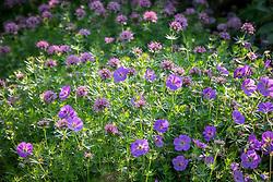 Geranium Rozanne syn. 'Gerwat' growing through Phuopsis stylosa syn.  Crucianella stylosa - Caucasian crosswort, Large-styled crosswort