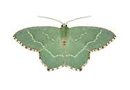 70.305 (1669)<br /> Common Emerald - Hemithea aestivaria