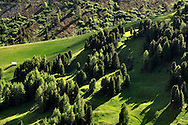 A wood of pine and larches in the field surrounding Sella Pass, Dolomites, Italy
