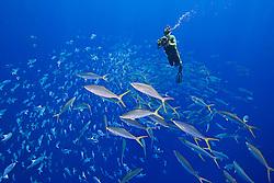 Marine life artist, painter, sculpter, Wyland, filming schooling rainbow runners, Elagatis bipinnulatus, and whitespotted filefish, Cantherhines dumerilii, off Kona Coast, Big Island, Hawaii, Pacific Ocean