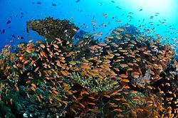 Pseudanthias bicolor, Buntes Korallenriff mit Schwarm von Zweifarben-Fahnenbarschen, Bali, Indonesien, Indopazifik, Bali, Indonesia Asien, Indo-Pacific Ocean, Asia