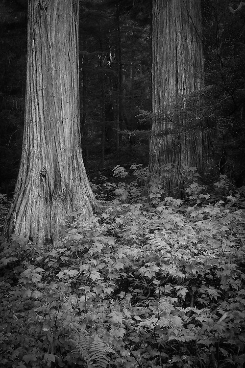 Roosevelt Grove of Ancient Cedars. Idaho Panhandle National Forest, Washington. Kaniksu District. Grassy Top proposed wilderness area.