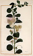 Caper bush (Capparis) a 17th century hand painted on Parchment botany study of a from the Jardin du Roi botanical Florilegium of Prince Eugene of Savoy collection, Paris c. 1670 artist: Nicolas Robert