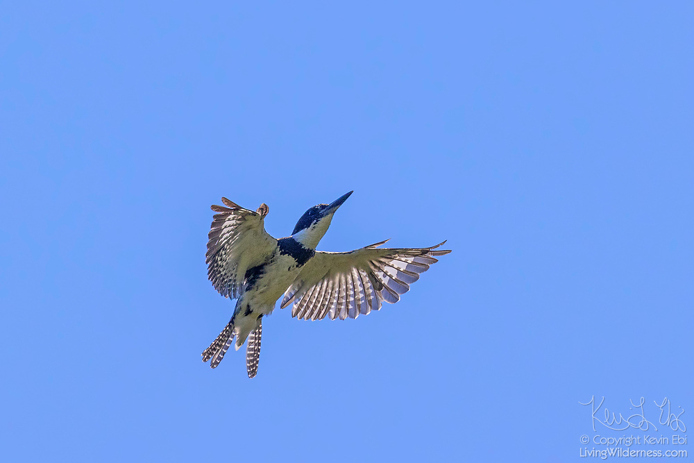 A belted kingfisher (Megaceryle alcyon) flies against the blue sky over the wetlands of the Washington Park Arboretum in Seattle, Washington. Its breeding range covers inland bodies of water across much of North America.