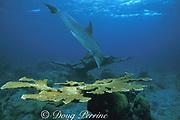 JoJo, a wild sociable bottlenose dolphin, or ambassador dolphin, Tursiops truncatus, and elkhorn coral, Acropora palmata ( a critically endangered species ), on shallow coral reef, Providenciales ( Provo ), Turks and Caicos Islands ( Western Atlantic Ocean )